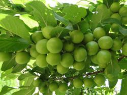 مبارزه با زنبور سیاه گوجه سبز توسط باغداران کاشانی انجام شود