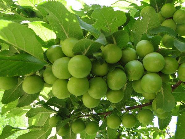 آغاز برداشت گوجه سبز از باغات گیلان/ ۱۶ هزار تن برداشت می شود