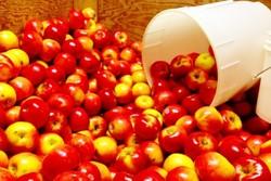 تولید غضروف و استخوان از تفاله سیب