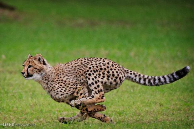 Iranian cheetah ready for mating