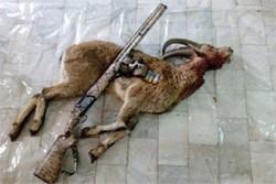 شکارچی متخلف در دامغان دستگیر شد/ کشف ۴ لاشه قوچ