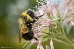 شناسایی ۲۰۰ هزار گونه زنبور/ زنبورهای عسل رقیب حشرات گردهافشان