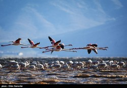 Migrating flamingos wing their way to southern Iran