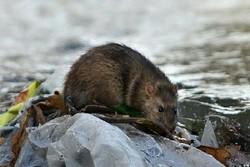 وجود موشهای آدمخوار درتهران صحت ندارد