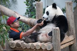 نجات پانداها از خطر انقراض