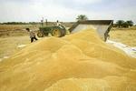 خرید تضمینی ۶۴ هزار تن گندم از کشاورزان اصفهانی انجام شد