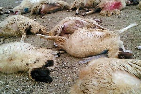 ۴۰۰ راس گوسفند در ثلاث باباجانی طی حمله ۲ پلنگ به گله تلف شدند