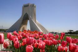 Spring of tulips in Tehran