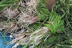 ۳۵۰ گونه گیاهی در ایلام خواص دارویی دارند
