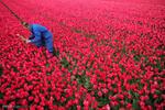 ہالینڈ میں گل لالہ کی کاشت اور برداشت