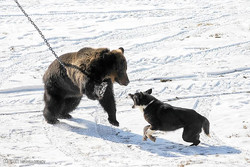 حمله سگ های شکاری به خرس