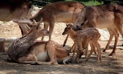 Persian fallow deer delivers twins at Tehran zoo