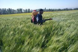 مبارزه با سن غلات در ۱۲ هزار هکتار از مزارع نهاوند