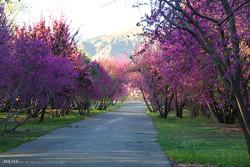 الربيع في الحديقة الوطنية للعلوم النباتية في طهران/صور
