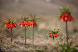 Inverted tulips in Khansar