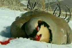 شکارچی - کراپشده