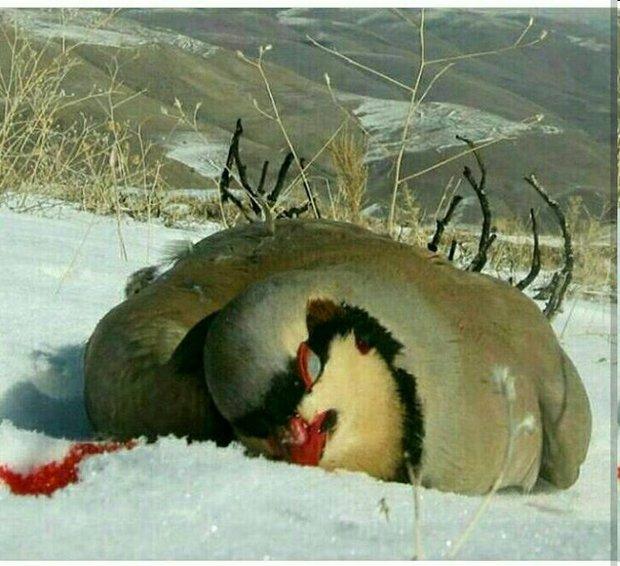 کشف چهار قطعه کبک از منزل دو شکارچی متخلف در زنجان