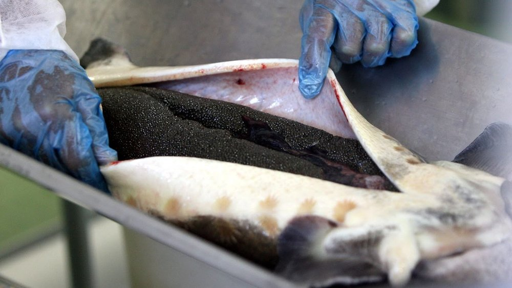 iran plans to produce 10 tons of caviar annually by 2021