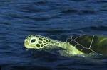 فیلمبرداری لاک پشت روبات از زیر آب