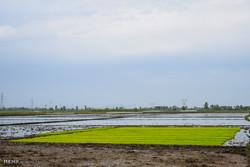 تقاضای روبه رشد برنج در منطقه/لزوم افزایش تولید برای امنیت غذایی