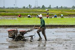نشاء برنج به روش سنتی و مکانیزه در شالیزارهای شهرستان مرزی آستارا