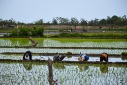 کنترل واردات برنج سبب افزایش قیمت محصول می شود