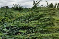 مبارزه با آفت سن مزارع گندم در ۱۵۰۰ هکتار از اراضی کشاورزی قزوین