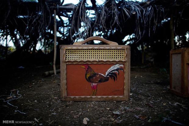 مبارزه خروس ها در کوبا
