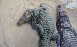 Mugger Crocodile, photo by Mina Ezzati