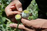 تایید «سرطانزا بودن مصرف تریاک» توسط آژانس بین المللی سرطان