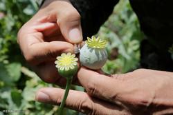 """الاقمار الصناعية كشفت 70 هكتارا من الأراضي المخصصة لزراعة نبات """"الخشخاش"""" بإيران"""