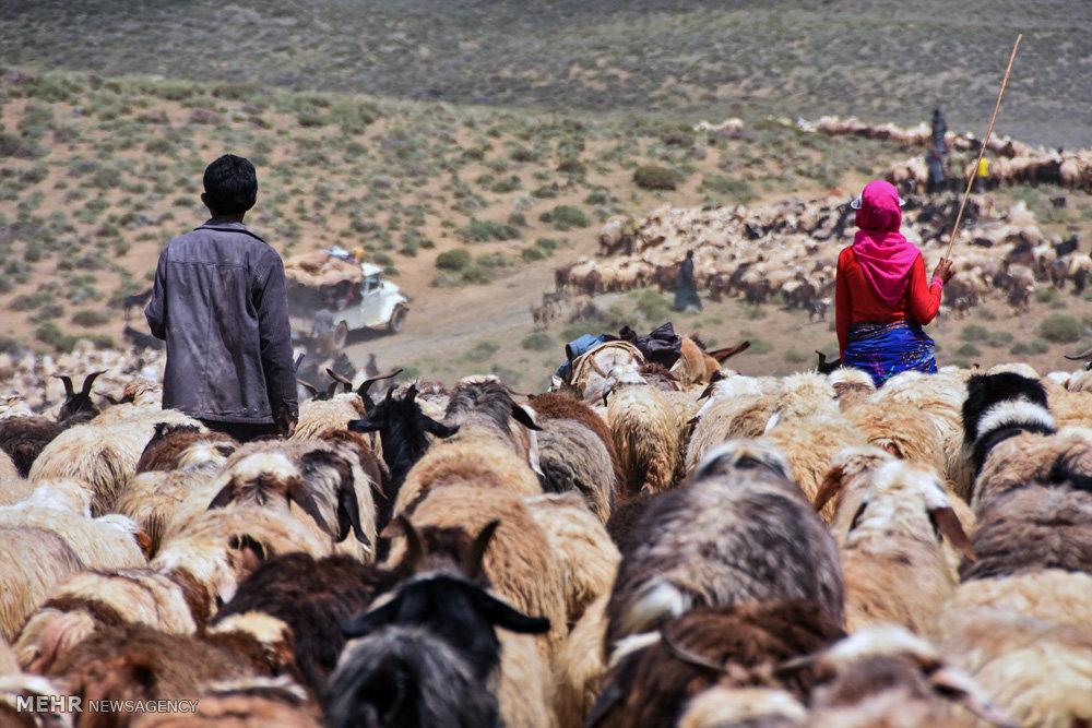 ورود دام های عشایر و کوچ نشینان به مراتع شهرستان شهرضا