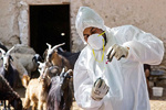 واکسیناسیون رایگان ۵۰۰ هزار راس دام سبک در کرمانشاه علیه آبله