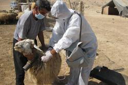 واکسیناسیون ۱۲ میلیون سر نوبت دام در استان کرمانشاه