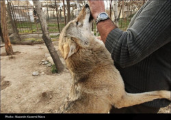 Termeh, a wolf kept in captivity in Pardisan park