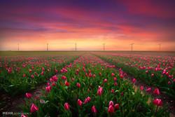 ہالینڈ میں پھولوں کا کھیت