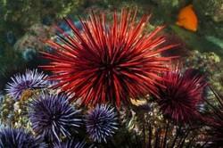 جوجه تیغی دریایی