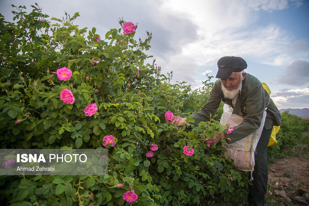 Rosewater festivals take center stage in central Iran