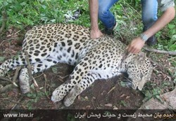leopard injured in Paband national park