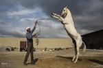 چهاردهمین جشنواره ملی اسب اصیل ترکمن در بش قارداش برگزار میشود