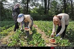 پیش بینی تولید ۴۵ هزار تن توت فرنگی/کشت گلخانه ای حمایت می شود