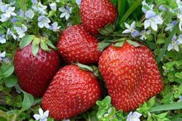 ترکیب طبیعی توت فرنگی موجب کاهش اثرات روانی پیری می شود