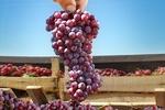 همایش ملی انگور در خراسان شمالی برگزار میشود