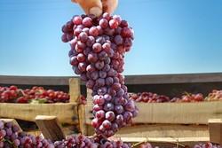 جشنواره انگور در ارومیه برگزار میشود/لزوم توجه به آداب و رسوم