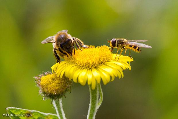سرشماری زنبورهای انگلیسی