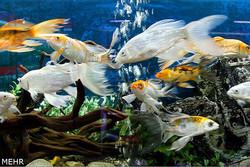 صادرات دو میلیون دلاری ماهی زینتی در سال گذشته