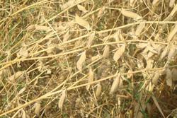 ۶۰ هکتار از اراضی کشاورزی شهرستان البرز به زیر کشت خلر و ماشک رفت