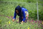 برداشت گیاه دارویی گل گاوزبان در روستاهای کوهستانی غرب شهرستان آستارا