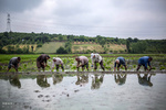 پیش بینی تولید۲۶۰۰۰تن برنج دراستان/کشت برنج در۵هزارهکتار ازاراضی