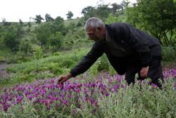 کشت گیاهان دارویی توسعه مییابد/ افزایش ۲۱ درصدی تولیدات کشاورزی